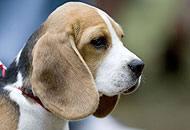Un cane beagle