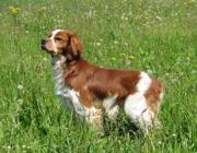 Un cane di razza Epagneul Breton