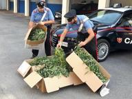Piantagione di marijuana sulle rive dell'Oglio: tre in arresto